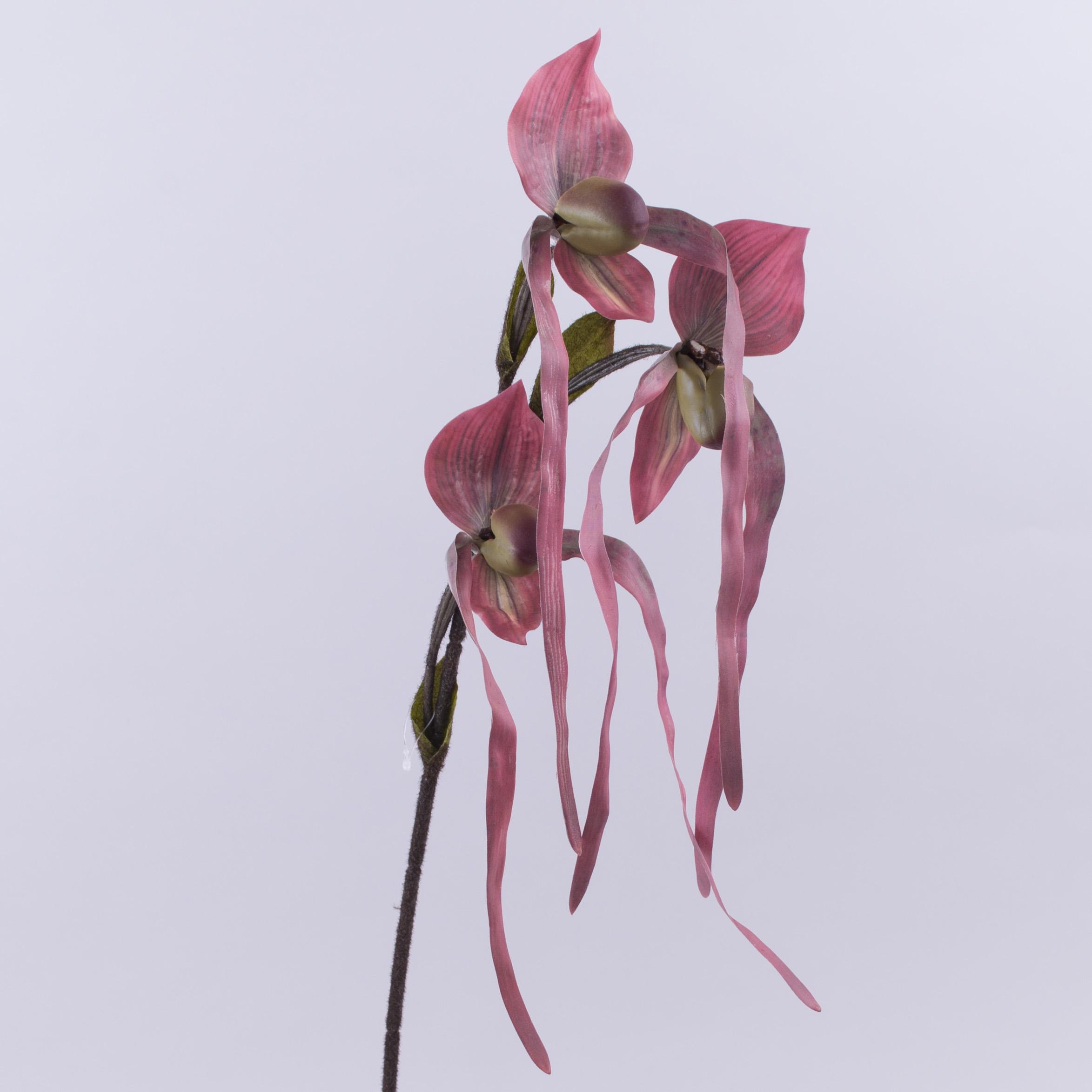 квіти орхідея тигрова звисаюча сливова