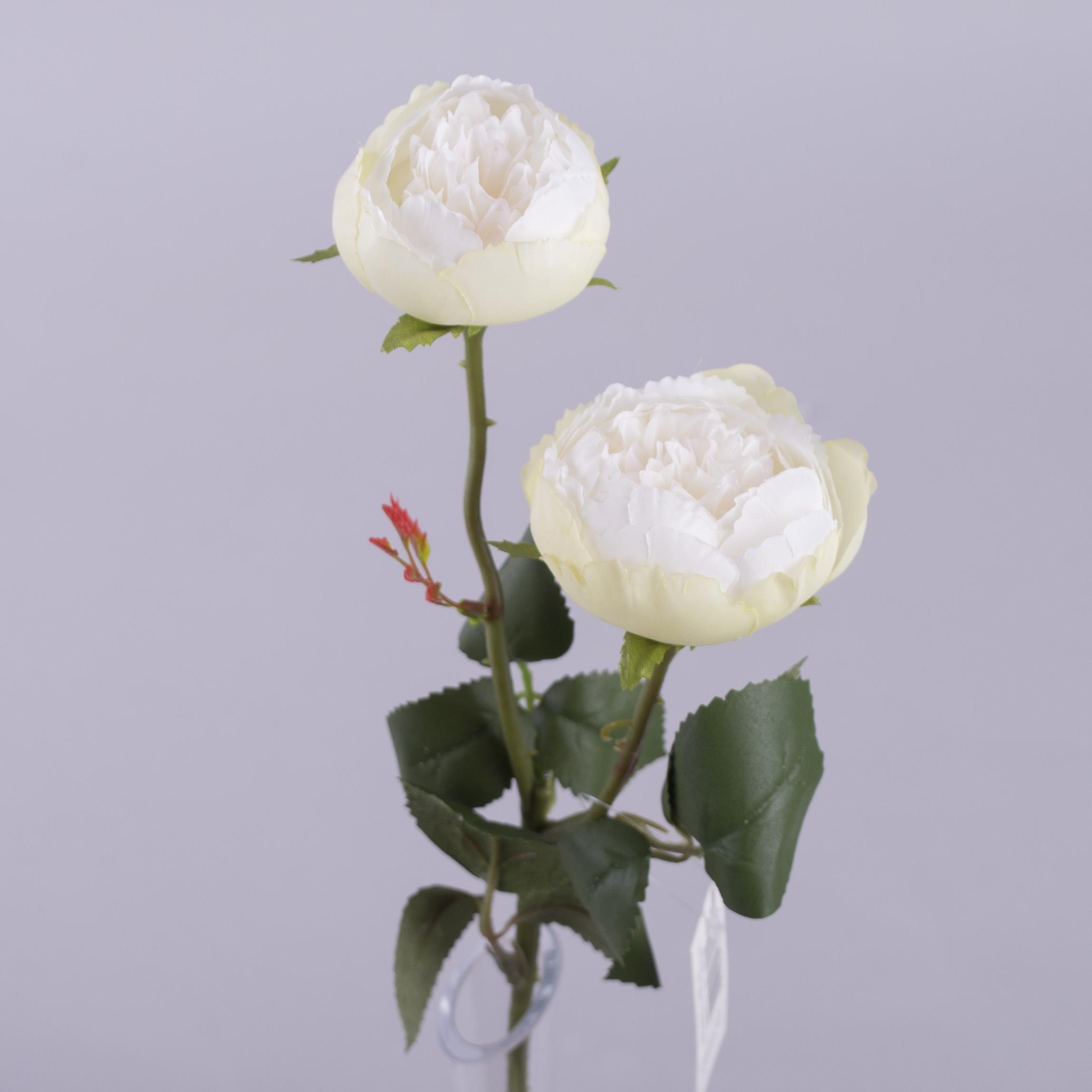 """Роза """"круглая садовая"""" молочная"""